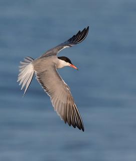 Common Tern Nickerson beach ny