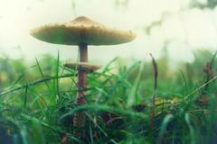*** (pszcz9) Tags: przyroda nature natura zbliżenie closeup bokeh grzyb mushroom beautifulearth sony a77 jesień autumn