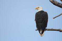 Bald Eagle,  Haliaeetus leucocephalus (jlcummins - Washington State) Tags: bird washingtonstate eagle raptor kittitascounty yakimarivercanyon wildlife canon tamronsp150600mmf563divcusd nature haliaeetusleucocephalus