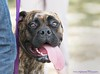 Sun's Out, Tongue's Out (Nicky Highlander Photography) Tags: barbados barbadian barbadosphotographicsociety barbadoskennelclub waterford saintmichael caribbean annual dog competition breed pedigree tongue animal pet petphotography eyes portrait portraiture cute adorable goofy outdoor documentary lifestyle candid photoessay photojournalism bokeh happy mastiff brindlecoat