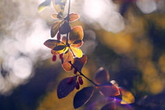 Through the dainty cells (Paulina_77) Tags: dof depthoffield closeup details bokeh macro detail shallow depth blur blurred nikond90 nikon d90 autumn fall leaves colors trees season park nature natura scenery forest tree colourful colour colorful color leaf foliage autumnal backlit backlight sunlight sunlit sun sunny daylight light shadow bright vivid vibrant colored hues cells glowing glaring branch branches yellow red orange greenery purple pola77 helios 44m4 582 helios44m4 helios58mmf2 russian prime lens helios44 444 m42 mount manual soviet vintage