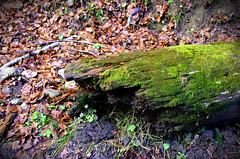 Busteni_40 (K06c) Tags: log nature forest photography plants leaves soil moss woods colours textures