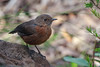Rock Warbler (RoosterMan64) Tags: australia australiannativebird bird bluemountains katoomba nsw nature rockwarbler wildlife