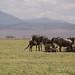Resting herd in Ngorongoro crater, Tanzania