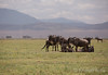 Resting herd in Ngorongoro crater, Tanzania (KronaPhoto) Tags: 2016 safari gnu herd flock flokk resting dyr ngorongoro crater nationalpark tanzania nature natur travel landskap view africa