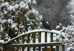 """Snow is falling all around me""  HFF (Eleanor (No multiple invites please)) Tags: birds fence blackbird starling snowflakes garden stanmore uk nikond7200 december2017"