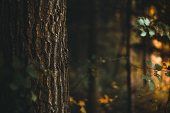 forest walk (simplyalex) Tags: forest walk autumn colours warm light trees nature sun sunlight landscape woodland leaves wanderlust dark black red yellow cold wet deep plant evening germany green grass lights outdoor tree close exploring y