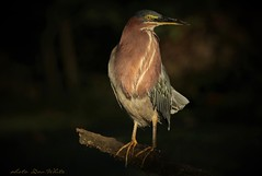 greenie highlights (don.white55 That's wild...) Tags: greenheronbutoridesvirescens wildwoodlake wildwoodpark harrisburgpennsylvania dauphincounty bird heron canoneos70d tamronsp150600mmf563divcusda011 perched morninglight lowanglelight underexposed ioo faves 100faves fabuleuse