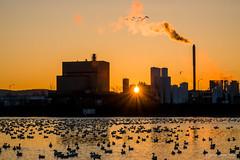 Sunrise at 4° C – part 3 (guysamsonphoto) Tags: guysamson sonyrx10markiv victo victoriaville geese oies