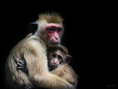 LOVE & MORE (babsbaron) Tags: nature tiere animals affen apes primaten primates tierpark thüle love mutter kind mother child