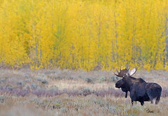 Bull Moose with a Golden Background in Lightly Falling Snow - 2793b+ (teagden) Tags: bull moose bullmoose golden background jenniferhall jenhall jenhallphotography jenhallwildlifephotography wildlifephotography wildlife nature naturephotography wyoming wyomingwildlife fall fallcolors autumn autumncolors autumnscene snow snowing lightfallingsnow fallingsnow