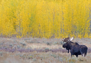 Bull Moose with a Golden Background in Lightly Falling Snow - 2793b+