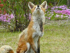#fox https://t.co/6rc4ks49ov (hellfireassault) Tags: foxes fox httpstco6rc4ks49ov q foxlovebot november 10 2017 1000pm