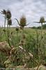 Near Osier Marsh (M C Smith) Tags: pentax k3 teasel park marsh gunpowderpark clouds white field green brown trees bokeh