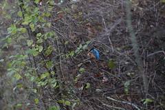 IMG_0337 (Yorkshire Pics) Tags: kingfisher fairburnings 1911 19112017 19thnovember 19thnovember2017