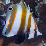 Two-eyed Coralfish - Coradion melanopus thumbnail