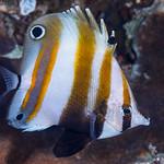 Two-eyed Coralfish - Coradion melanopus thumbnail