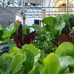 My winter salad mix is looking pretty good, considering it has been getting down into the 20's at night. thumbnail