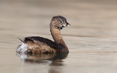 Pied-billed Grebe (mandokid1) Tags: canon ef400mmdoii 1dx birds grebes