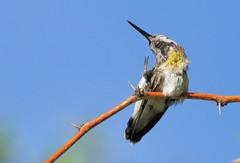 Anna's Hummingbird -- Female? (Calypte anna); Catalina, AZ [Lou Feltz] (deserttoad) Tags: nature arizona bird wildbird songbird hummingbird desert flight flower bloom ocotillo
