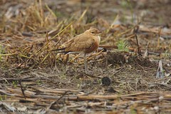 Australian Pratincole (jmck1989) Tags: bird birdnerd aussielife animals wildlife daintree queensland australia pratincole australianpratincole birdwatcher twitcher fauna