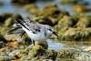 Yoga Pose (ac4photos.) Tags: shorebird bird nature sanderling wildlife animal beach stretch gulf florida naturephotography wildlifephotography shorebirdphotography animalphotography birdphotography