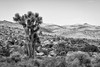 Joshua Tree (kelstar*) Tags: california joshuatreenationalpark usa joshuatree