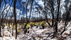 Recovery 4 (Alien Shores Imagery) Tags: bushfire17 jervisbay nationalparks booderee grasstree murraystrack