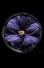 Mystery (borealnz) Tags: poroporo flower purple solanumaviculare nz newzealand nznative solanum dark mysterious circle squared