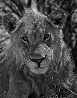 Lion-mono_1836