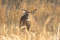 White-tailed Deer buck in the morning sun