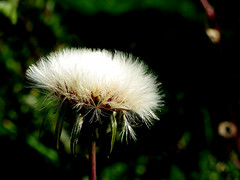 Cat's Ear Seed Cluster (ambrknr) Tags: cats ear dandelion flora eugene western oregon weeds wildflowers seeds