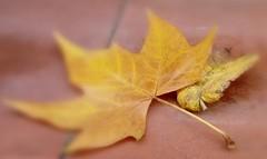 Leaves! (Echeveria62) Tags: 7dwf wednesday macro lookingcloseonfriday autumn