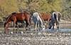 Salt River Wild Horses (maccandace) Tags: horses saltriver coonbluff mustangs wildhorses