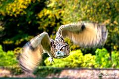 Owl, Thorp Perrow (carrmp) Tags: owl bird thorp perrow uk england yorkshire