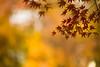 winter colors (N.sino) Tags: m9 summicron90mm maple autumnleaves kichijoji inogashirapark 紅葉 楓 井の頭公園