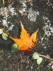 (taheryasir) Tags: leaf autumn nature change freshness plant mapleleaf leaves day outdoors beautyinnature maple closeup fragility directlyabove nopeople growth minimalove minimalistphotography flower red autumnalleaves minimalobsession autumnlight