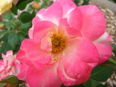 Rosebud Ramblings ... (Mr. Happy Face - Peace :)) Tags: rose rosebud alberta canada albertabound summer pink flower floral love naturelover cans2s art2017 sunkissed thursdayfloral hmm marcomonday