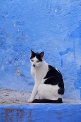 Cat portrait Morocco_2117 (ichauvel) Tags: chat cat portrait rue street murbleu bluewall vertical chefchaouen chaouen chechaouen maroc morocco rif afriquedunord northafrica afrique africa magreb voyage travel novembre november exterieur outside getty