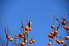 Bird and persimmons (MelindaChan ^..^) Tags: 柿 persimmon bird fruit tree yangdong folk village 良洞村 yangdongfolkvillage 村 gyeongju skorea 韓國 慶州 fly chanmelmel mel melinda melindachan