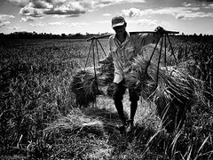Rice Bales (Rich Friend) Tags: red rice farm food harvest bales work labour internationaldevelopment cambodia asia