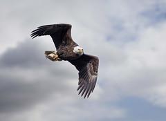 Fish on board... (DTT67) Tags: baldeagle eagles birds bif birdofprey nature wildlife nationalgeographic canon 1dxmkii autumn fall