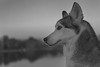 Aurora (Cruzin Canines Photography) Tags: kerncounty canon5ds portrait siberianhusky closeup cute domesticanimal bakersfield dog eos5ds animals california girl nature dogs canon monochrom pets naturallight canine animal canoneos5ds blackandwhite female domestic husky mammal hartpark outdoors outside 5ds pet