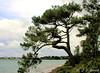 Au bord de la rivière d'Étel (jean-daniel david) Tags: rivière fleuve bretagne morbihan arbre pin ciel nuage eau nature france vert verdure forêt côte mer locoal