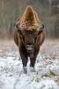 European Bison (fascinationwildlife) Tags: animal mammal wild wildlife winter nature natur national park europe european bison buffalo wisent male bull snow cold polen poland bialowieza forest field