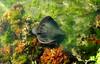 Eagle Ray (Dan Ross Artist) Tags: wellington danrossart dan ross new zealand fish animal underwater ocean seaweed swimming stingray eagle ray