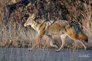 Coyote Takes The Paved Walk