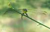 Green dragonfly (veltrahez) Tags: miami florida unitedstates us