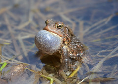 Toad trilling (av8s) Tags: toad amphibian trilling nature wildlife pennsylvania pa photography nikon d7100 sigma 120400mm