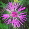 Knapweed (Daniel James Greenwood) Tags: nokialumia mobilephonephotos danielgreenwood danielgreenwoodphotography